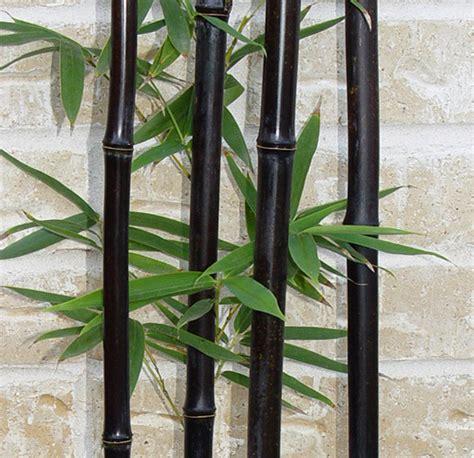 Planter Bag 5 Liter Hitam T1310 2 50 seeds bag black bamboo seeds phyllostachys nigra dendrocalamus asper betung hitam black