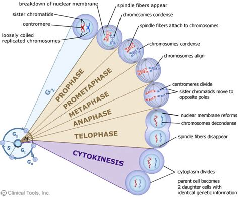 interphase g1 diagram the cell cycle mitosis and meiosis of leicester