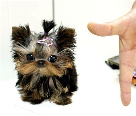 i want a yorkie awww teacup yorkie dogs i want baby puppys and yorkies