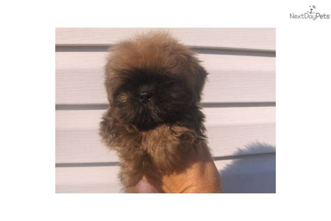 shih tzu puppies for sale birmingham al shih tzu for sale birmingham al picture breeds picture