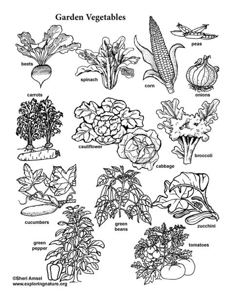 coloring pages of garden vegetables garden vegetable visual guide and coloring page