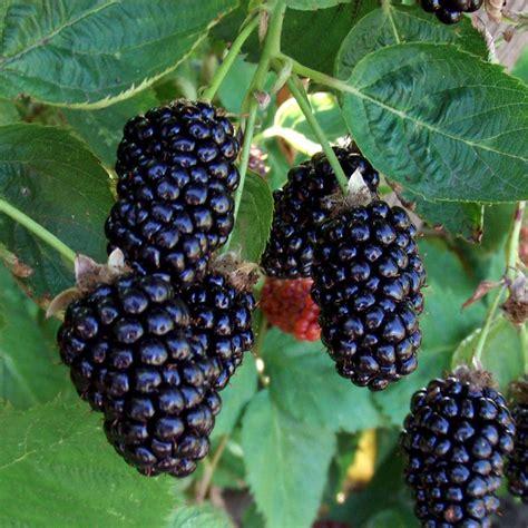 fruit vs berry marionberry hybrid berry plants stark bro s