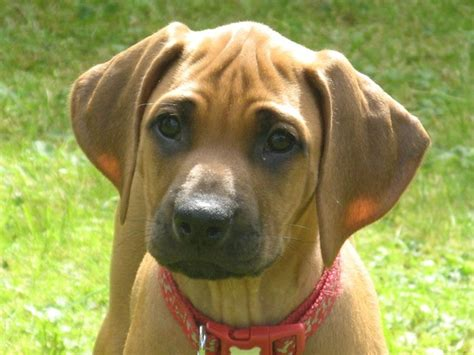 registered rhodesian ridgeback puppies for sale walamadengie rhodesian ridgeback puppies for sale mauchline ayrshire pets4homes