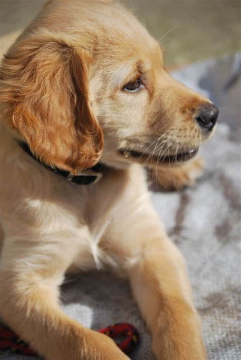 my golden retriever puppy bites all the time 17 best images about and they call it puppy on