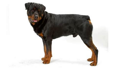 taking care of rottweiler puppies the ultimate guide to dreams and their meanings