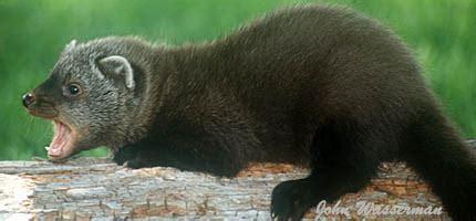 weasels  foxes  hawks   identifying common chicken predators fresh eggs daily