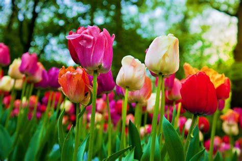 imagenes tulipanes hermosos tulipa spp o tulip 225 n ficha