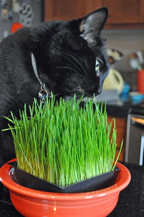 Chi Chi Chi Chia Cat Lovelifeinc Chia Cat Grass Planter