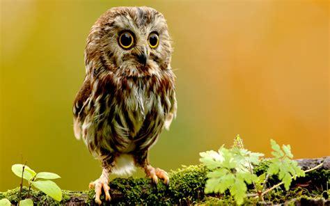 owl wallpaper for macbook owl computer wallpaper wallpapersafari