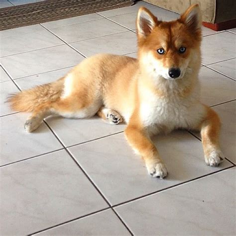 pictures of pomeranian husky meet fox a pomeranian husky mix who is taking the by 12 pics