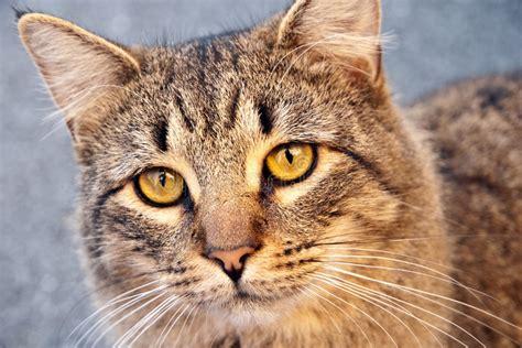 Cat Ct010 Brown Yellow yellow eyed tabby cat stock photos image 7254093