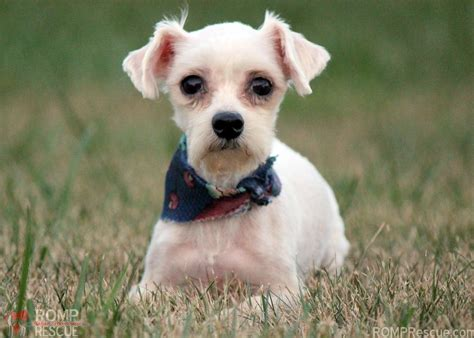 adoption chicago chicago maltese adoption elvis romp italian greyhound rescue chicagoromp italian