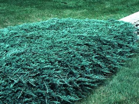 juniper rug blue rug juniper this is the lowest growing juniper shrub it is extremely cold tolerant and