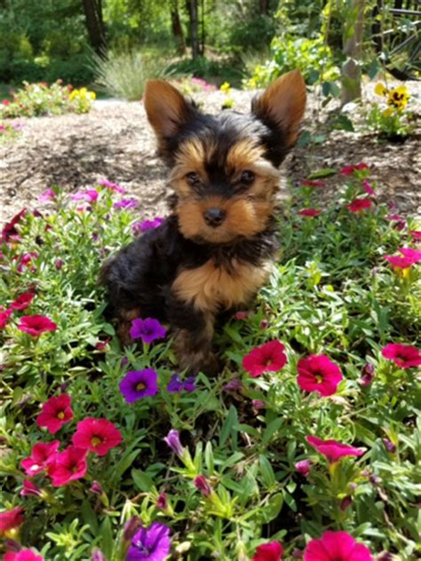 yorkie puppies massachusetts mini teacup terriers boston massachusetts yorkie puppies for sale