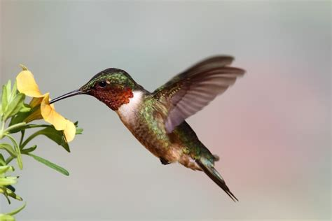hummingbird feeding hummingbird facts and information