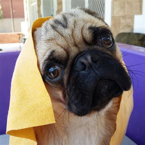 do pugs need grooming australian lover
