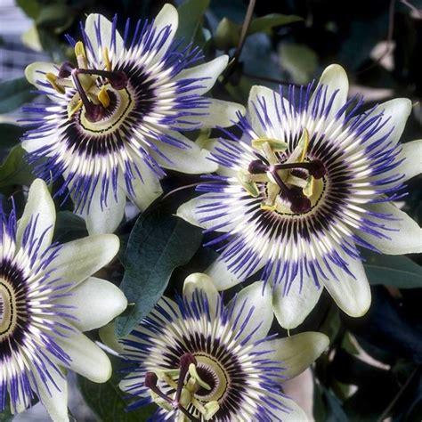 passiflora in vaso passiflora edulis ricanti pianta maracuj 225