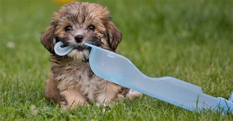 havanese puppies in ma 30 cutest pictures of havanese puppies the stuff makes me happy