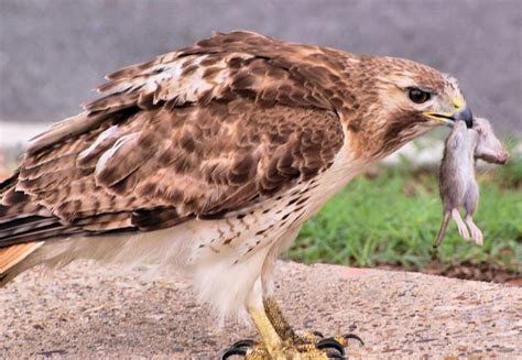 hawkwatch at the franklin institute john blakeman on how