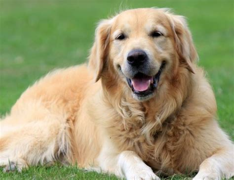 golden retriever crate golden retriever breed facts information and lifespan