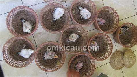 Inkubator Burung panduan beternak burung jalak ala kere ayem bf klub burung