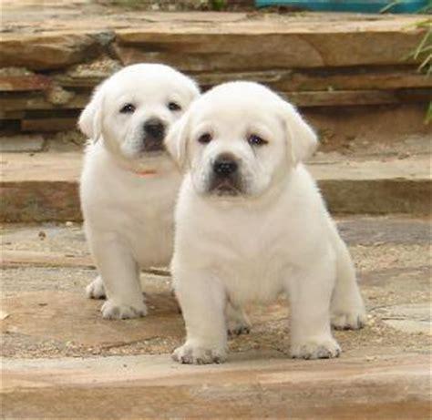 white lab puppy white labrador retriever puppies