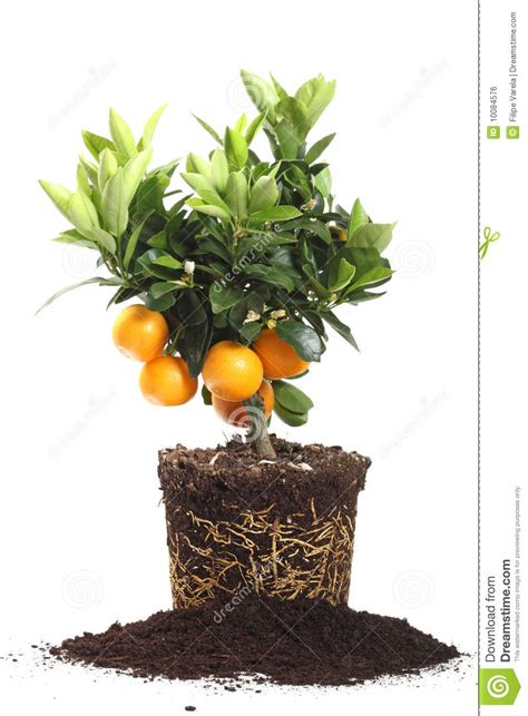 small orange tree small orange tree isolated on white stock photo image