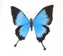 Pastel chalk drawing of a blue mountain swallowtail butterfly