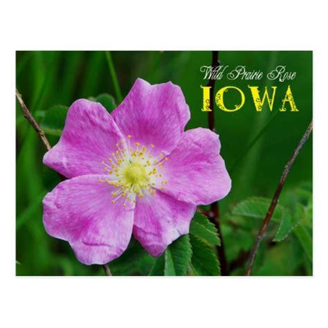 iowa s state flower iowa pinterest iowa state flower wild prairie rose postcard zazzle