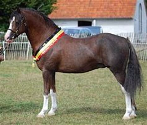 welsh section c height welsh pony and cob wikipedia