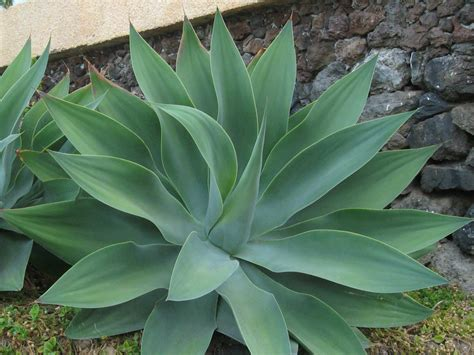 agave attenuata fox tail swan s neck world of succulents