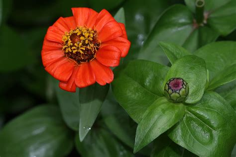 pictures of flowers flower picture zinnia picture