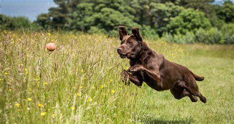 how many puppies do labs labrador span how do labradors live
