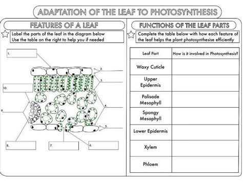 leaf structure worksheet answers low onvacations