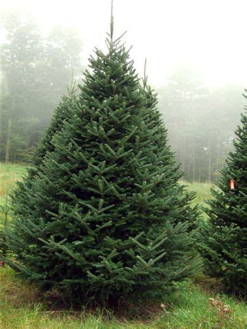 balsam douglas fraser and noble are all types of what balsam fir forest for the trees firs gardens and garden trees