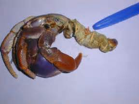 how to succeed with hermit crabs with pictures