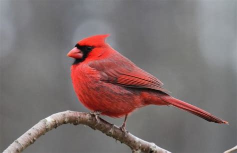 cardinal birds diet habitat facts and lifespan with