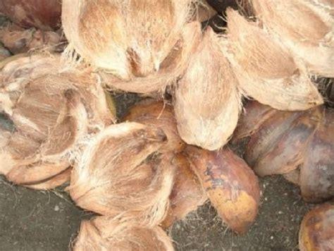 Pot Anggrek Sabut Kelapa cara menanam anggrek dengan sabut kelapa