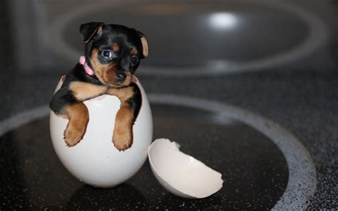 puppy eggs puppy in shell eggs wallpapers and images wallpapers pictures photos