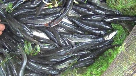 Ikan Tiruan budidaya gabus haruan
