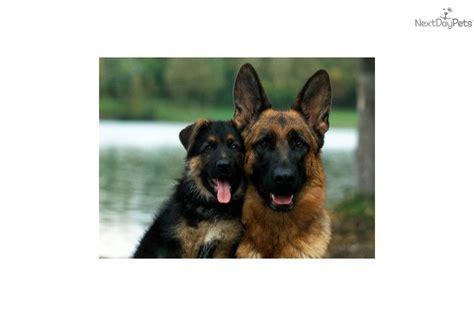 big boned german shepherd puppies for sale corpus christi rental backpage