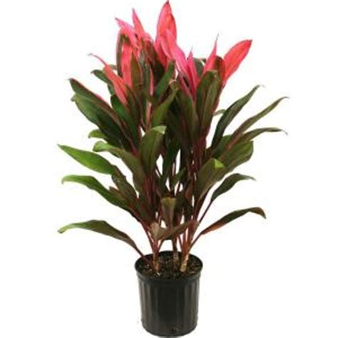 delray plants 8 3 4 in cordyline in pot 10red