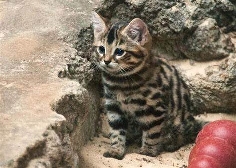 15 Rare Wild Cat Species You Never Knew Existed (Photos)