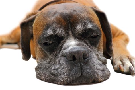 boxer puppy food best food for boxers does he get enough protein herepup