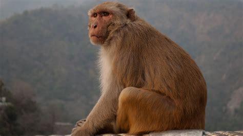 Search In India Monkeys In Rishikesh India