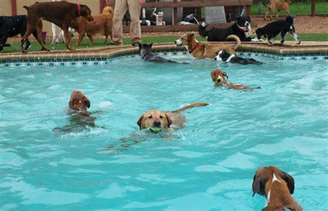 do all dogs how to swim top 10 swimmer breeds inside dogs world