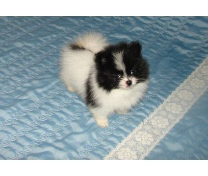 pomeranian puppies for sale in miami 119 best pomeranian puppies for sale images on
