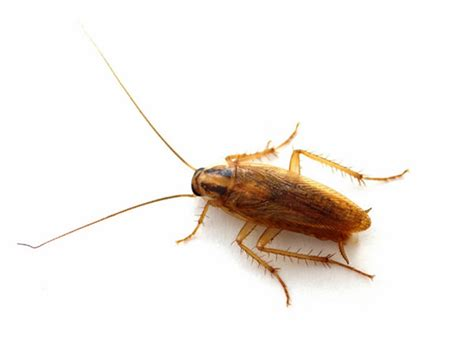 roaches in bathroom only cockroach control greater dayton ohio and the miami valley