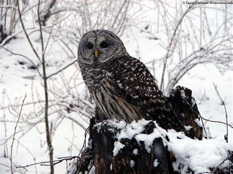 wisconsin owls identification s barred owl photos