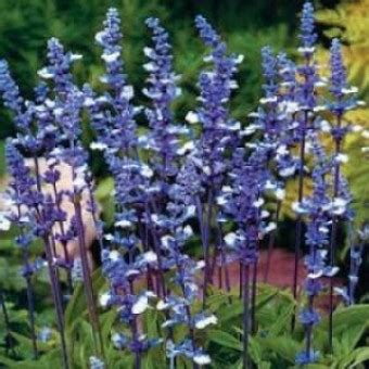 20 Benih Biji Bunga Blue Chicory bibit bunga blue